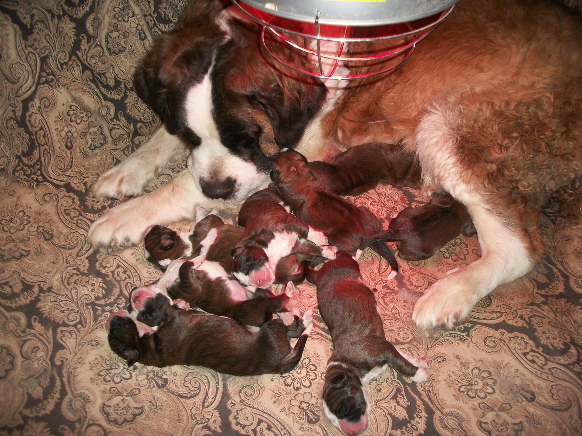 Saint Bernard Collie Mix Puppies For Sale Goldenacresdogs Com